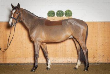Holsteiner, Wallach, 4 Jahre, 170 cm, Brauner